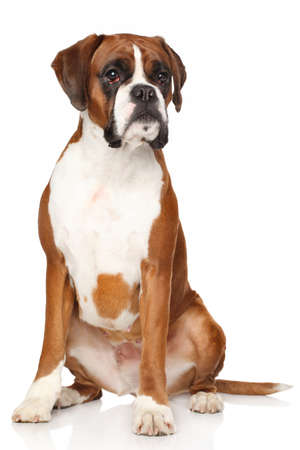 Portrait of Boxer dog on a white background Фото со стока
