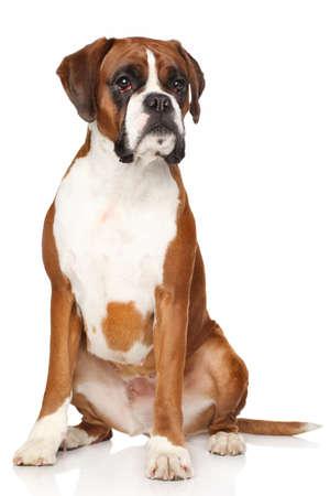 perro boxer: Retrato del perro del boxeador en un fondo blanco