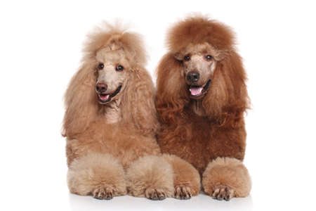 poodle: Two brown Standard Poodles lying on white background