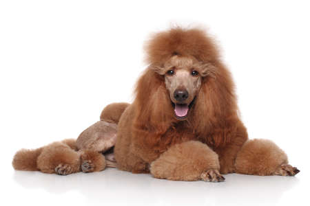 standard poodle: Groomed red standard poodle lying in front of white background