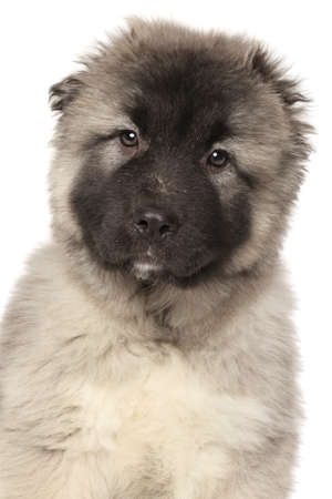 alabai: Central Asian Shepherd Alabai puppy. Close-up portrait isolated on white background