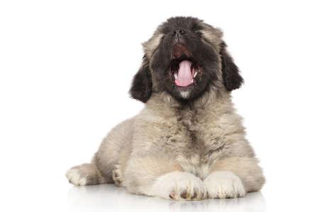 alabai: Central Asian Shepherd puppy yawn on white background