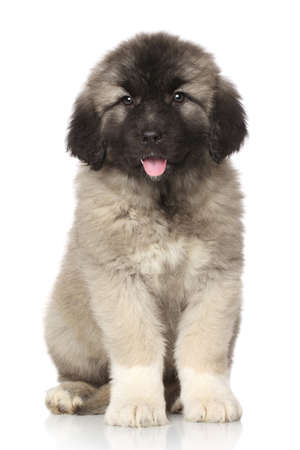 alabai: Central Asian Shepherd puppy sits in front of white background Stock Photo