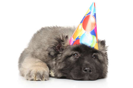 alabai: Central Asian Shepherd puppy in party cone lying down on a white background Stock Photo