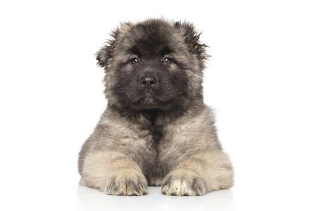 alabai: Central Asian Shepherd puppy lying down on white background Stock Photo