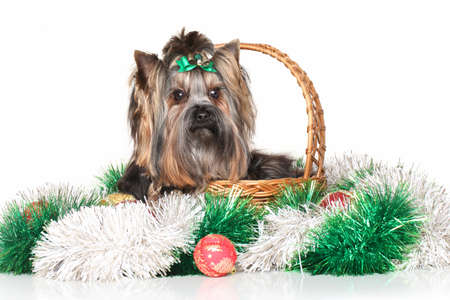 yorky: Yorkshire terrier in wicker basket sitting with Christmas garland on white background
