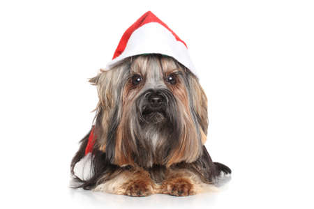 Yorkshire Terrier in Santa Red hat on white background photo