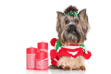yorky: Yorkshire Terrier with red Christmas candles on white background
