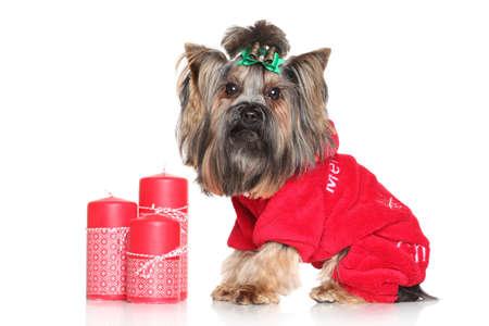 moda ropa: Yorkshire Terrier de moda ropa de perro con las velas rojas de la Navidad en un fondo blanco