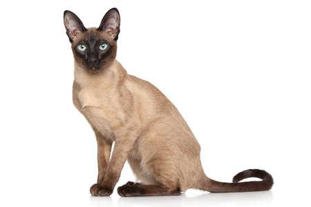 siamese cats: Siamese Oriental cat. Portrait on white background Stock Photo