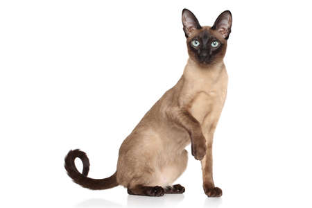Siamese Oriental cat on white background