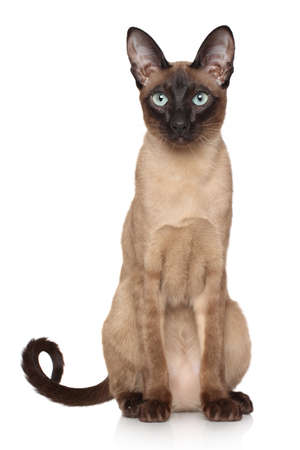 Oriental Siamese cat sits on white background