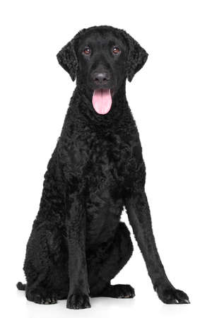 coated: Curly Coated Retriever su sfondo bianco