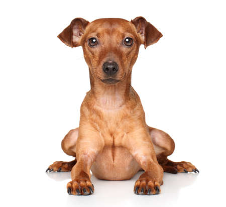 cvergpincher: Miniature Pinscher on white background