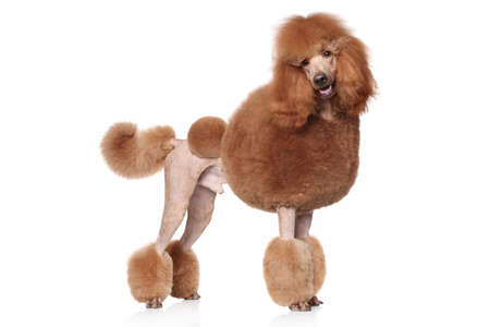 Red Standard Poodle. Portrait on a white background 스톡 콘텐츠