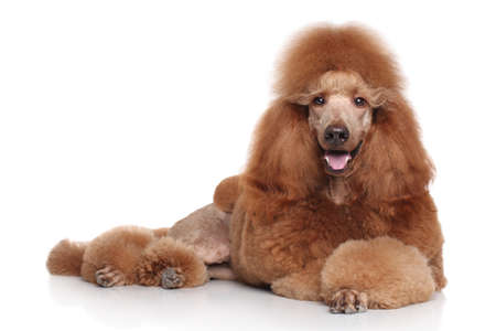 standard poodle: Red standard Poodle lying in front of white background