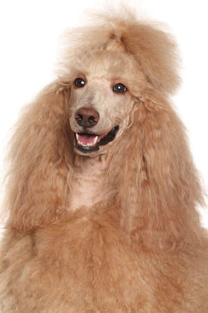 Apricot Standard Poodle. Close-up portrait on isolated white background photo
