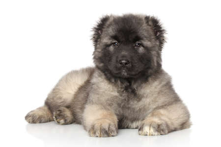 alabai: Central Asian Shepherd puppy lying in front of white background