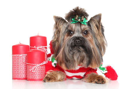 yorky: Yorkshire Terrier with red Christmas candles on a white background Stock Photo