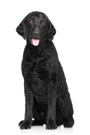 カーリー コート ホワイト バック グラウンドで犬ポーズ