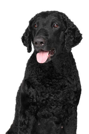 coated: Curly coated retriever. Close-up portrait isolated on white background