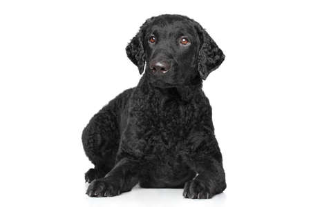 coated: Curly retriever lying down on white background