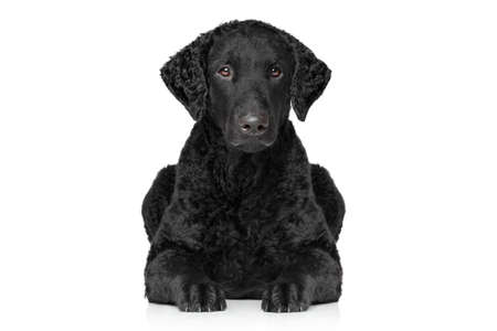 coated: Curly coated retriever lying down on white background Stock Photo