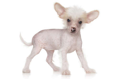 Chinese crested puppy on white background Stock Photo