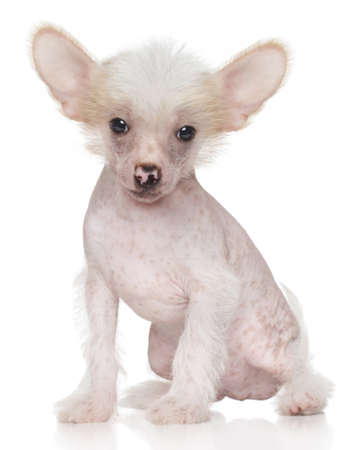 lapdog: Funny cute Chinese crested puppy on white background Stock Photo