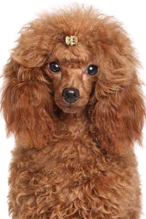 miniature breed: Perrito poodle miniatura Rojo. Retrato en el fondo blanco aislado
