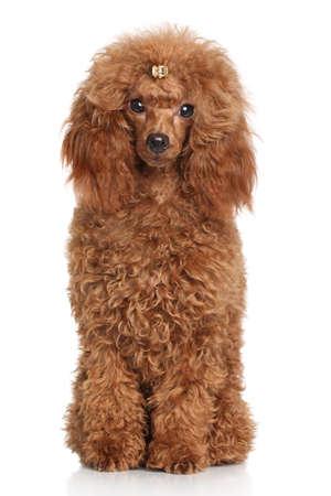 miniature poodle: Red Miniature poodle. Portrait on white background