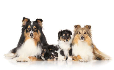 sheepdogs: Portrait of Shetland Sheepdogs in front of white background Stock Photo