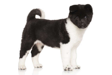 akita: American Akita puppy. Portrait in front of white background Stock Photo