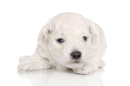 miniature poodle: Miniature Poodle puppy. Portrait on a white background