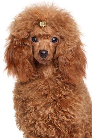 miniature poodle: Red Miniature poodle. Close-up portrait on a white background
