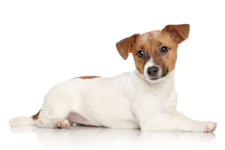 jack russel: Jack Russell terrier lying on a white background Stock Photo