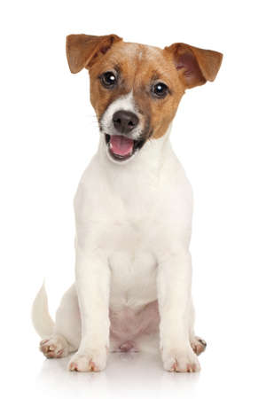 Happy Jack Russell terrier puppy on a white background