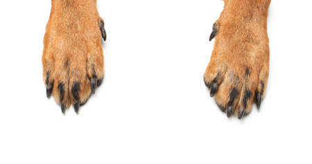 white dog: Rottweiler paws on isolated white background Stock Photo