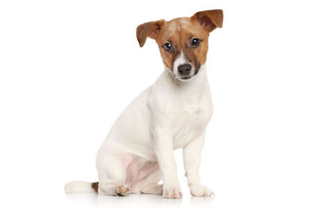 jack russell terrier puppy: Jack Russell terrier puppy in front of white background Stock Photo