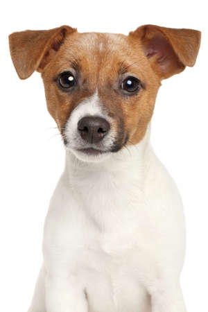 jack russel: Jack Russell terrier isolated on a white background