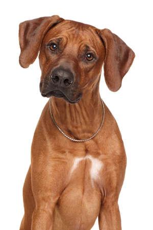 rhodesian: Rhodesian Ridgeback dog breed. Portrait isolated on white background Stock Photo