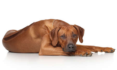 rhodesian: Rhodesian Ridgeback dog resting on a white background Stock Photo