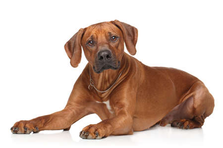 rhodesian: Rhodesian Ridgeback dog lying down on a white background Stock Photo