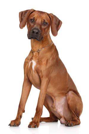 Rhodesian Ridgeback dog sitting on a white background Stock Photo