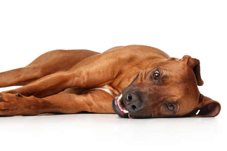 rhodesian: Rhodesian Ridgeback dog resting on white background