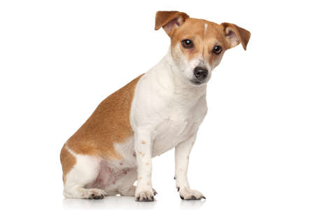 sits: Jack Russell terrier sits in front of white background Stock Photo