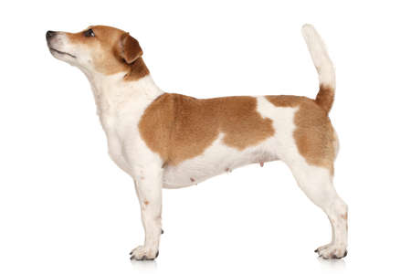 jack russel: Jack Russell terrier in standing on a white background