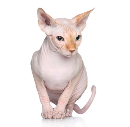 bare skinned: Sphynx hairless cat sits on a white background