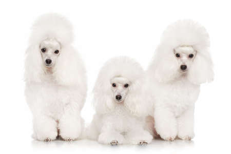 Group of white poodles posing on a white background