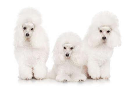 miniature breed: Grupo de los caniches blancos posando sobre un fondo blanco